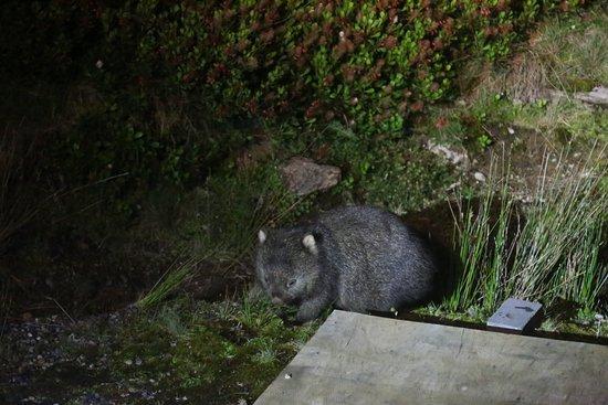 Legana, Australia: Wombat on the bus tour