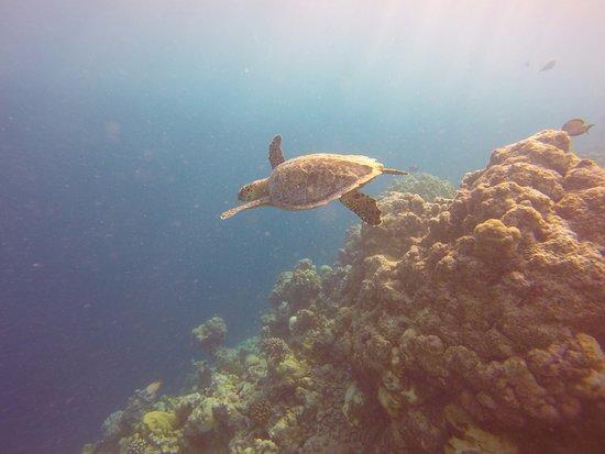 COMO Cocoa Island, The Maldives: Resident turtle