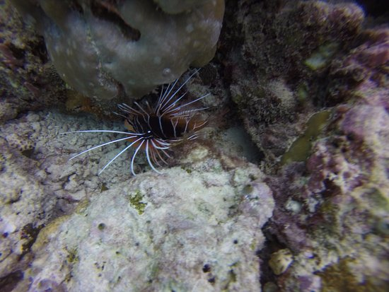 Cocoa Island by COMO: Lion fish on a house reef