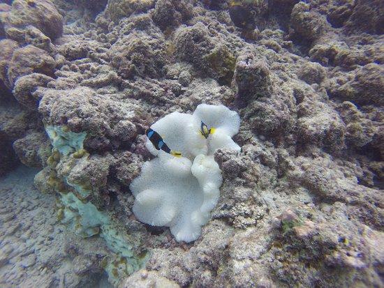 COMO Cocoa Island, The Maldives: Clown fish