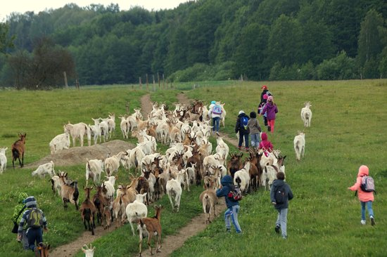 Morag, Poland: Największa frajda - spacer z kozami na łąkę.