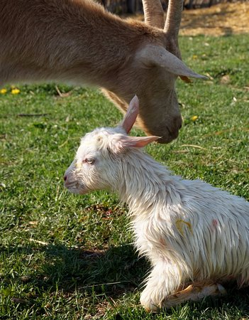 Morag, Poland: Właśnie urodzony kozi maluszek.