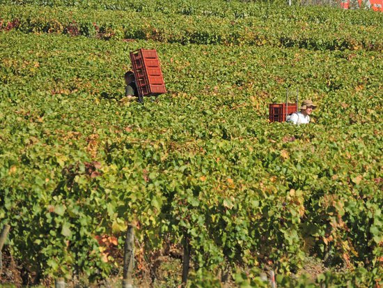 Comblanchien, Francja: Grape pickers on Harvest Day 2016