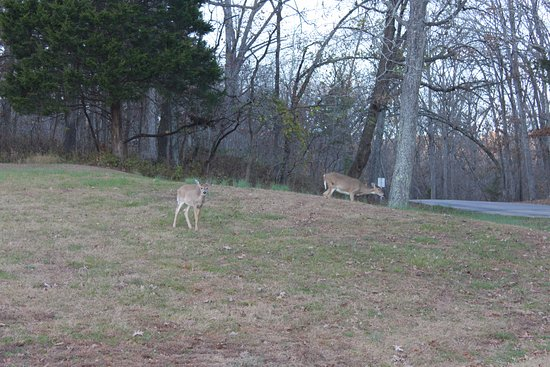 Leasburg, MO: Deer near the entrance