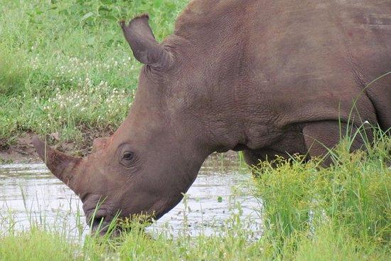 Kapama River Lodge: rinocerontes também... adorei!
