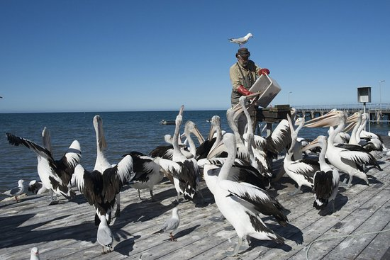 Kingscote, Australia: Everyone wanted a handout. John buys his own fish to feed the pelicans every day.