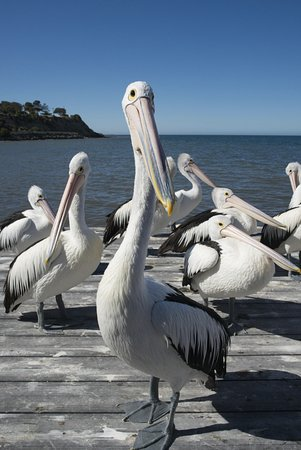 Kingscote, Australia: You could get very close to the pelicans if you wanted.