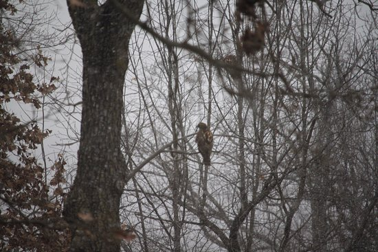 Ozark View RV Park : Hawk in a nearby tree
