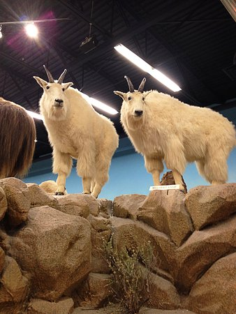 Rosenbruch Wildlife Museum: Two mountain goats in the museum.