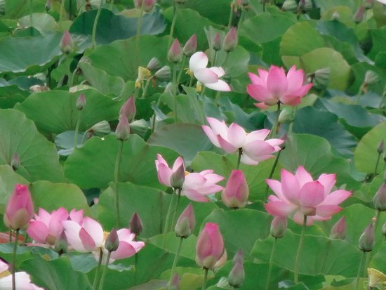 Khuon Tour Private Day Tours: Les lotus d'Angkhor