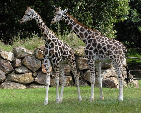 Zoo Plzeň: žirafy