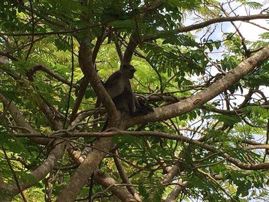Diani Sea Lodge: Lots of monkeys in the trees