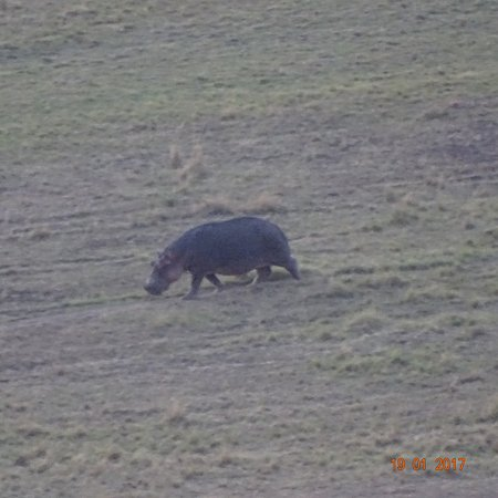 Mara Serena Safari Lodge: Spotted an Hippo from the room gallery.