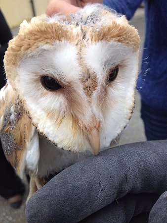 Drogheda, Irland: One of our two barn owls - Gin and Tonic