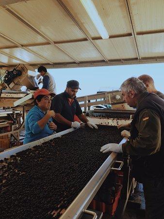Montalcino, Italia: On the harvest line at Poggio Antico.