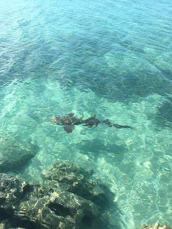 Grotto Bay Bahamas : A nurse shark passing by at the beach