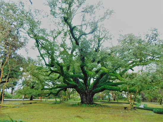 Massive live oak, about 200 years old, at Melrose Plantation