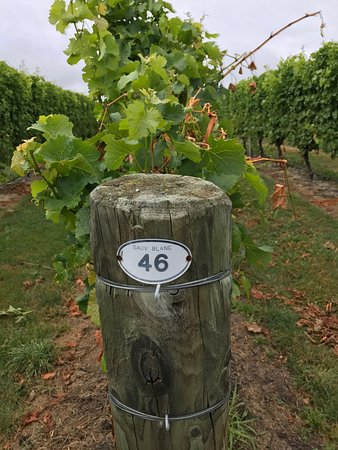 The Marlborough Lodge: Sauvignon blanc grapevines