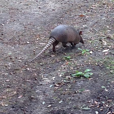 Upper Tampa Bay Park: Armadillo on one of the trails