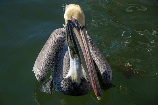 Pepe's Charters: mr pelican begging for fish