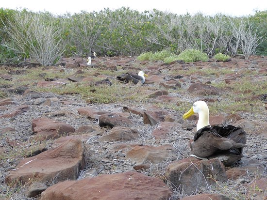 Espanola, Ecuador: Albatross