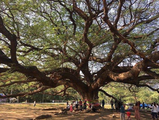 Giant Tree Kanchanaburi照片