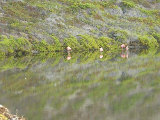 Rabida, Ekwador: Pink Flamingo