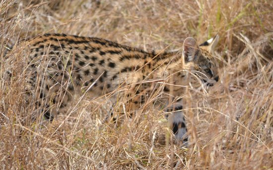 Nairobi Region, Kenia: The Serval cat is one of the most rare and difficult to spot while on safari.