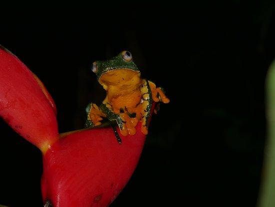 Shiripuno Lodge: Leaf Trefrog