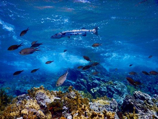 Tropicalsub Diving: Barracuda