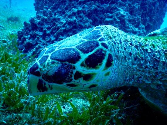 Tropicalsub Diving: Tortue verte / Green turtle