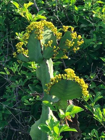 ชุมเบไอส์แลนด์ โครัลพาร์ค: Poisonwood in blossom