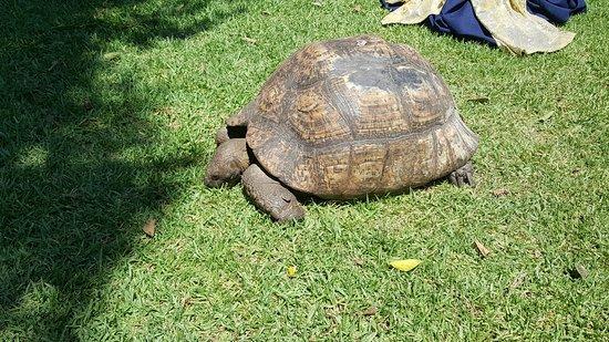 Vineyard Hotel: Resident tortoise.