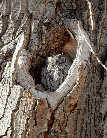 Hereford, AZ: sleepy owl