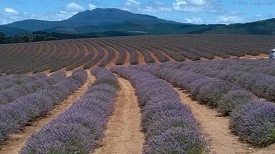 Riverside, ออสเตรเลีย: Bridestowne Lavender farm 60 Klms away