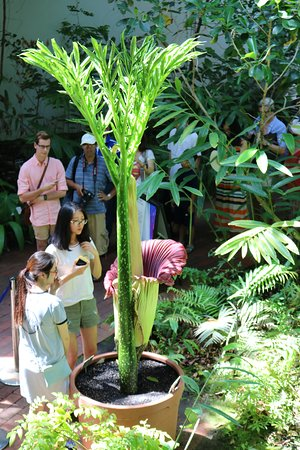 Adelaide Botanic Garden: Titan Arum Bloom(燭台オオコンニャク)