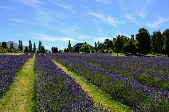 Wanaka Lavender Farm