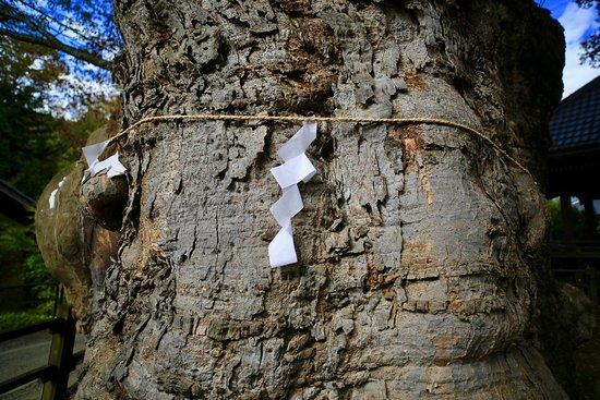 Zelkova Tree of Negoya Shrine