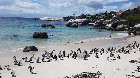 Boulder Beach Penguin Paradise Picture Of Lucky And Lost Tours