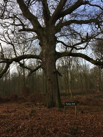Savernake Forest: One of the old oaks in the forest - the map in the car park shows the position of trees of inter
