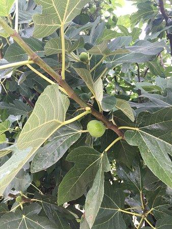 Agriturismo La Pietriccia: fresh figs for breakfast,unbelivale!