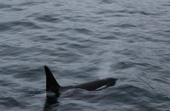 Polar Charter: Orcas from Polar Girl