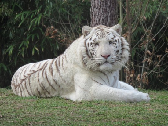 tigre blanc picture of zoo de la fleche la fleche tripadvisor. Black Bedroom Furniture Sets. Home Design Ideas