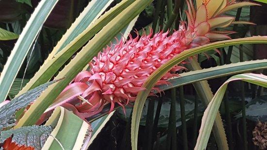 Hunte's Gardens: Pink pineapple!