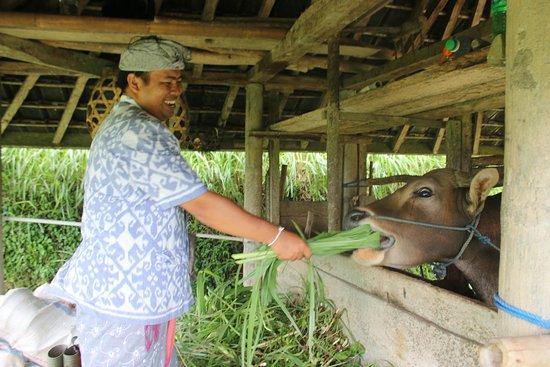 Agus Bali Private Tours: Agus che si diverte con un vitello