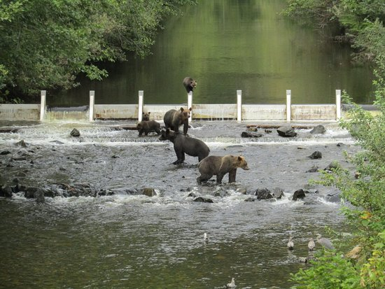 Glendale Cove, Канада: Grizzly Bears on the river