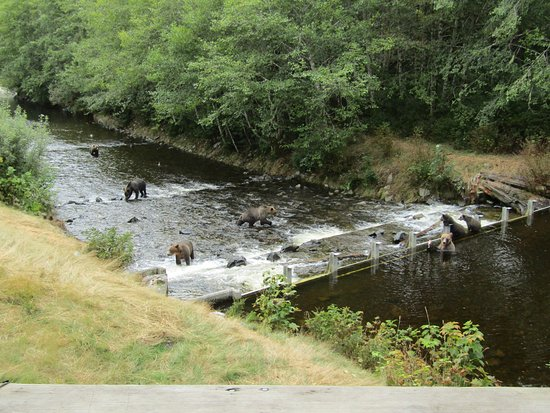 Glendale Cove, Canada: Grizzly Bears on the river