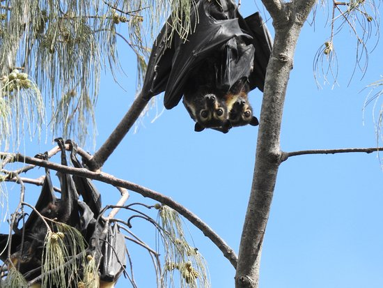 Daintree, Australië: Flying foxes hanging out