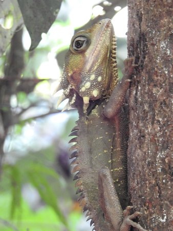 Daintree, Australië: Boyd's Forest Dragon