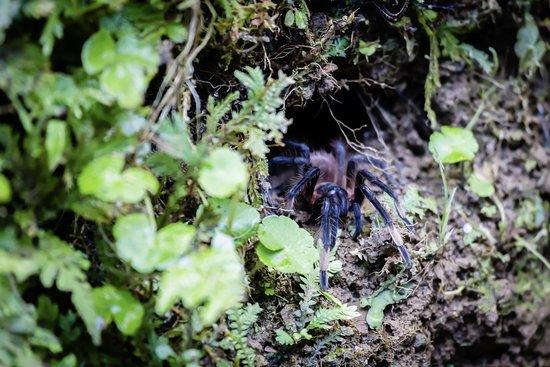 Pacuare Lodge: Tarantula